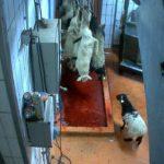 Des agneaux sur une chaine d'abattage à l'abattoir de Mauléon-Licharre.